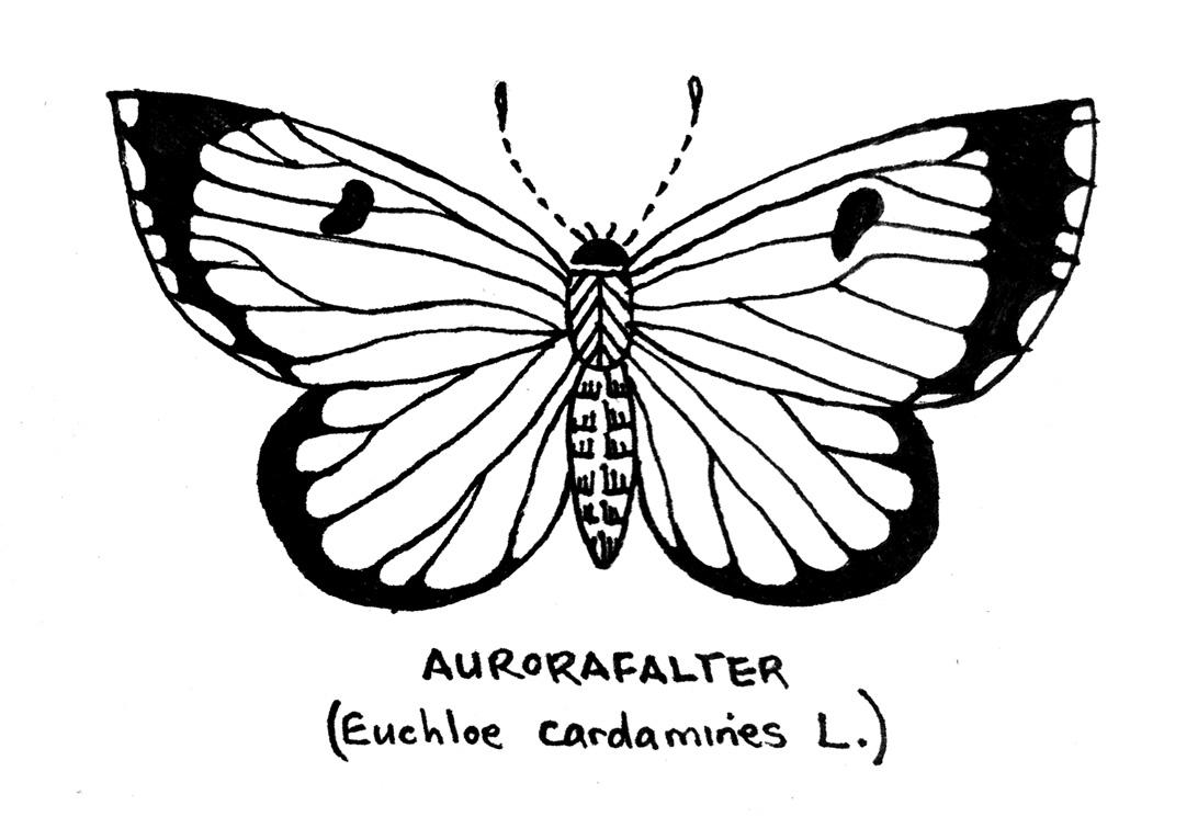 day26_aurorafalter